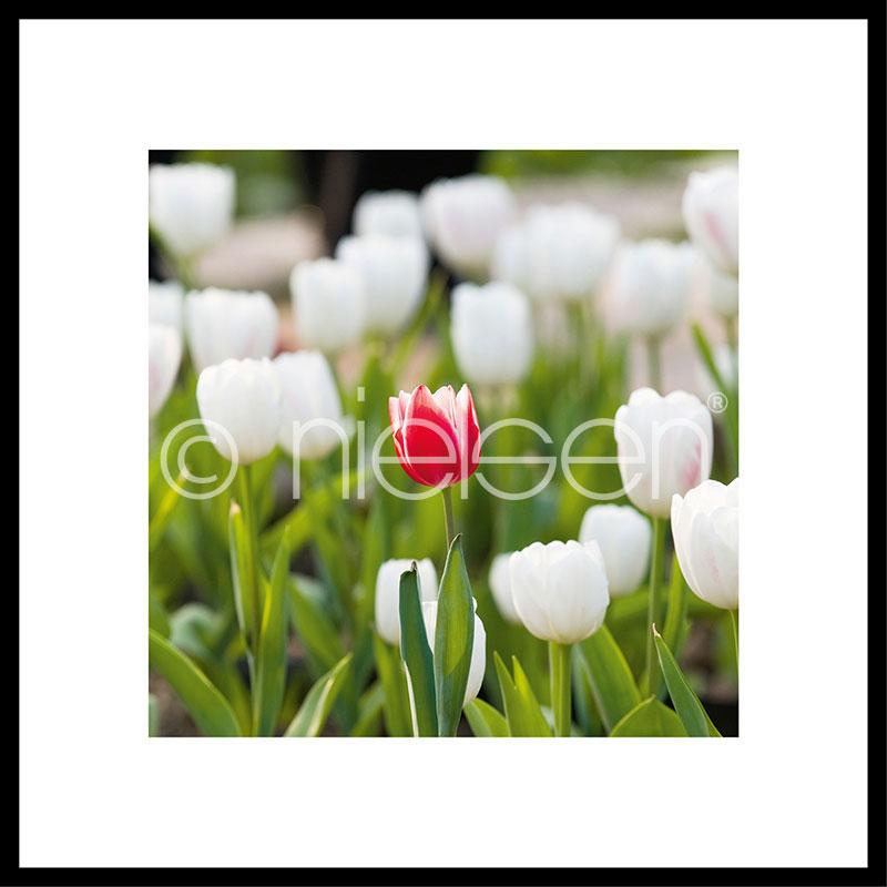 """Immagine incorniciata """"Tulips"""" con cornice in alluminio C2"""