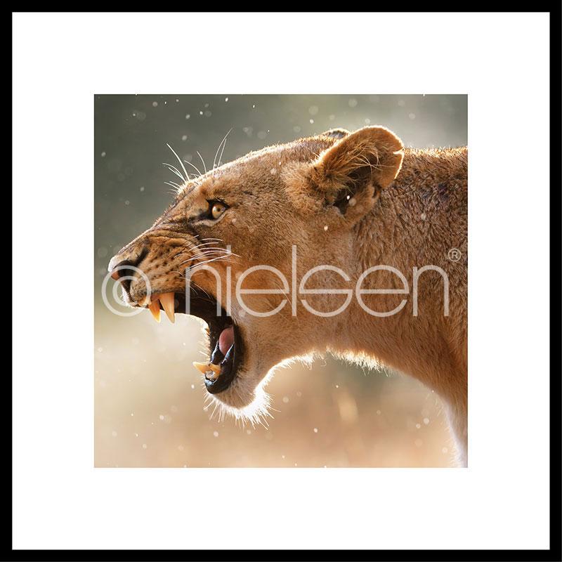 """Immagine incorniciata """"Lioness"""" con cornice in alluminio C2"""