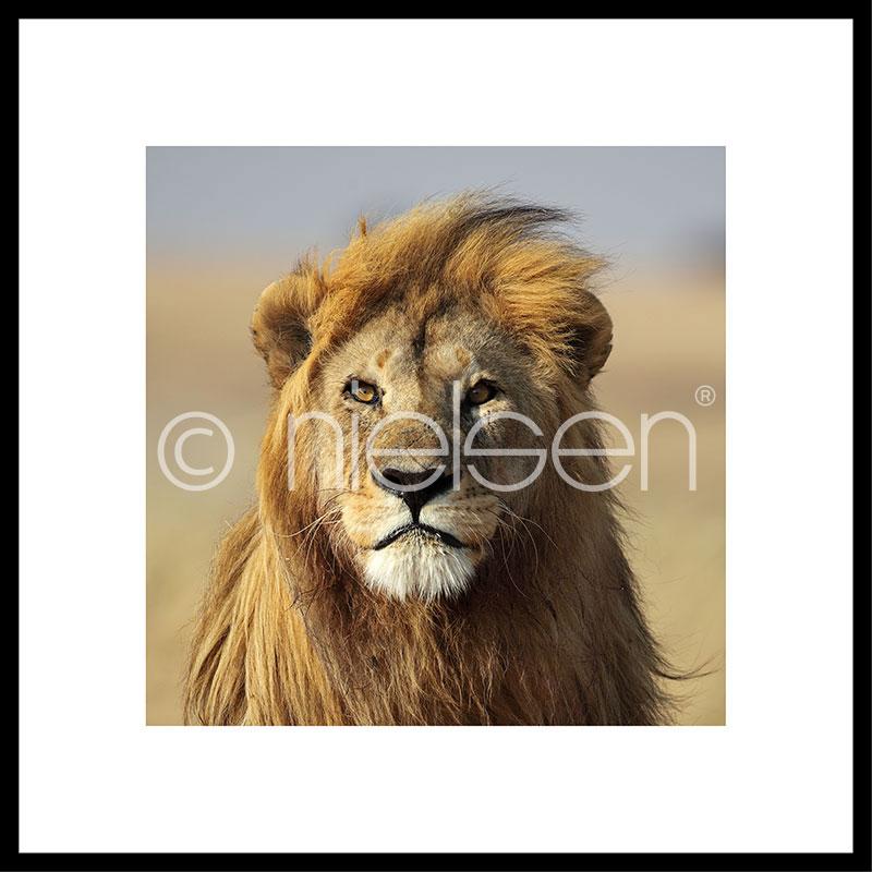 """Immagine incorniciata """"Lion"""" con cornice in alluminio C2"""