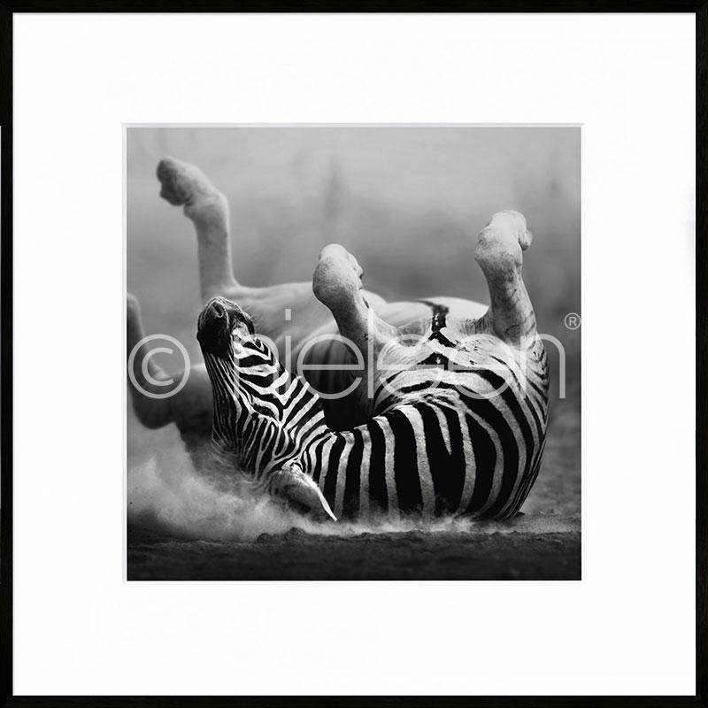 """Immagine incorniciata """"Zebra lying"""" con cornice in alluminio C2"""