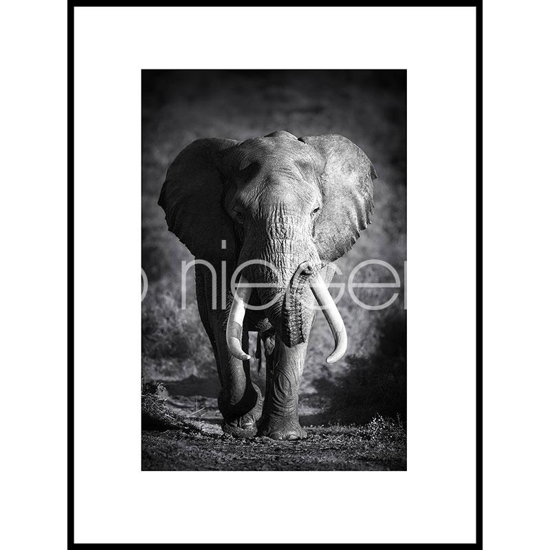 """Immagine incorniciata """"Elephant black and white"""" con cornice in alluminio C2"""