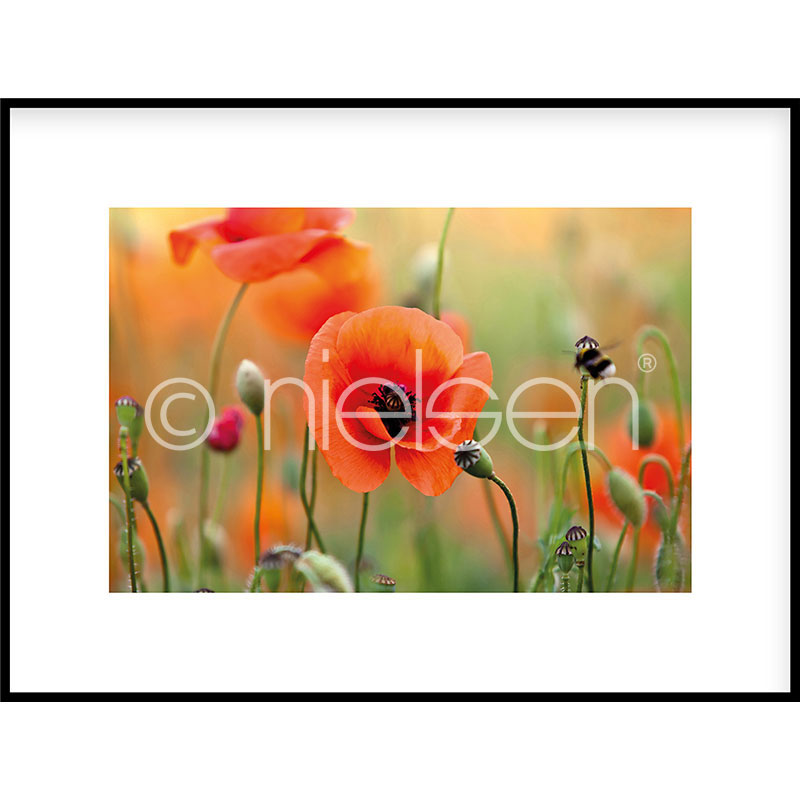 """Immagine incorniciata """"Poppy Flower"""" con cornice in alluminio C2"""