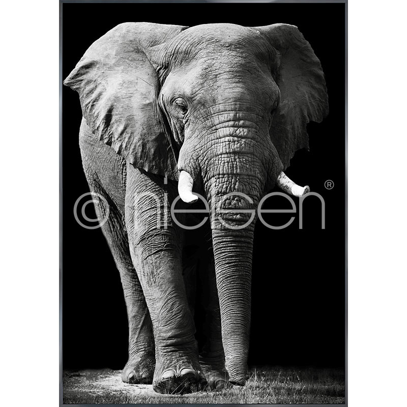 "Immagine incorniciata ""Elephant black and white"" con cornice in alluminio Alpha"